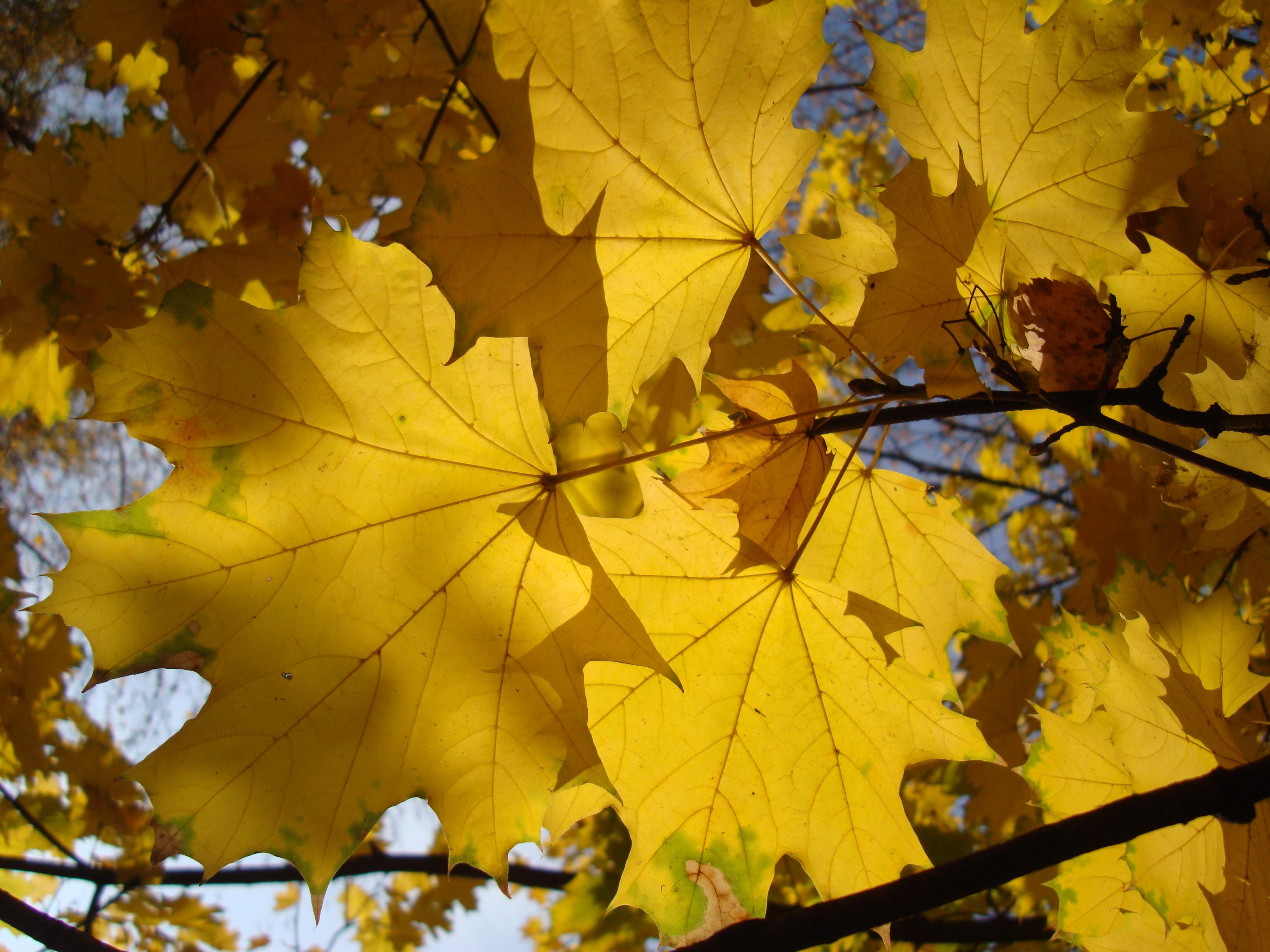 Смотреть цвета клена 24 фотография